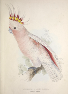 Leadbeaters Cockatoo from Lear's  Illustrations of the family of Psittacidœ, or parrots, 1832