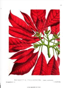 Poinsettia pulcherrima rosea-carmeninata, The Floral Magazine, 1873