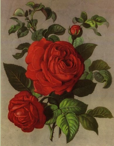 Senateur Vaisse, a remontant Hybrid Perpetual, intoduced by Guillot in 1859