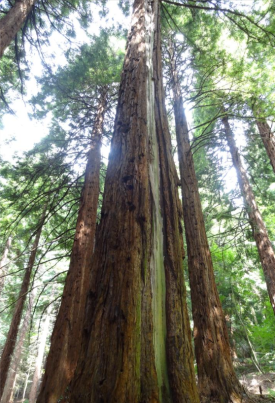 Coastal redwood from the original [planting, from http://rfs.org.uk/media/53032/leighton-information-sheet.pdf