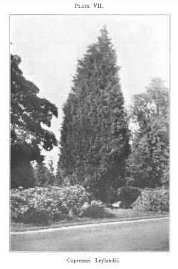 Plate from Jackson & Dallimore's article in Kew Bulletin, 1926, presumably of either a tree at Leighton Hall, or more likely, Haggerston Castle