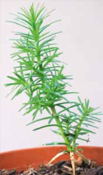 Early seedling stages of leylandii from The Plantsman Dec 2011, p.255