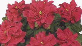 Winter Rose Dark Red http://www.stanleysgreenhouses.com