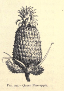 A Queen Pineapple from Alfred Smee, My Garden: Its Plan and Culture, 1872