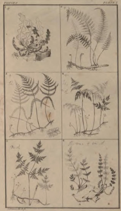From  Francis, An Analysis of British Ferns