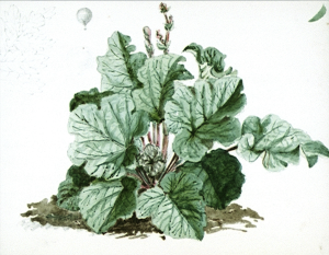 Rhubarb by Edward Cooke, undated but probably from his childhood work National maritime Museum