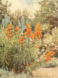 Orange lilies and larkspur, from Some English Gardens, 1904