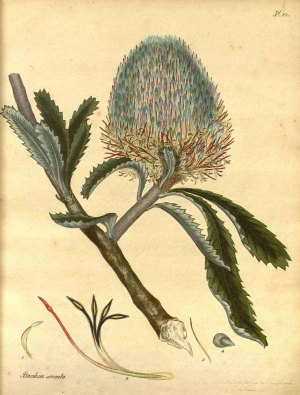 Banksia serrata L.f. red honeysuckle, saw banksia The botanist's repository [H.C. Andrews], vol. 2: t. 82 (1799-1801) [H.C. Andrews] http://plantgenera.org/illustration.php?id_illustration=111313&mobile=0&code_category_taxon=1