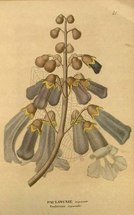 Paulownia tomentosa Steudel [as Paulownia imperialis Siebold & Zucc.] Royal Paulownia Curtis's Botanical Magazine, vol. 78 [ser. 3, vol. 8]: t. 4666 (1852) [W.H. Fitch]