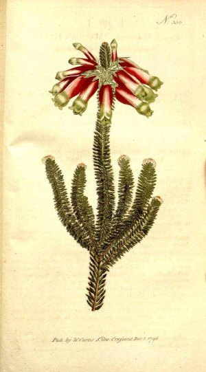 Erica massonii L.f. Botanical Magazine, vol. 10: t. 356 (1796) [n.a.] http://plantgenera.org/illustration.php?id_illustration=3078&mobile=0&code_category_taxon=