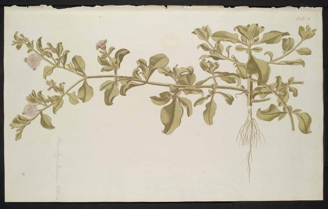Mesembryanthemum aitonis Jacq. Jacquin, N.J. von, Hortus botanicus Vindobonensis, vol. 3: t. 207 (1776) http://plantgenera.org/illustration.php?id_illustration=78387&mobile=0&code_category_taxon=1