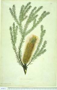 Banksia ericifolia L.f. heath leaved banksia Natural History Museum, London, The Endeavour Botanical Illustrations, The Endeavour Botanical Illustrations, (1773) [J.F. Miller]
