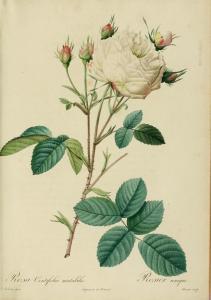 White Provence Rose P. J. Redouté, Les Roses I, 1817