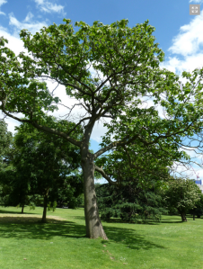 Paulownia in Regent's Park http://www.supporttheroyalparks.org/explore/trees_in_the_parks/trees_in_regents_park/596_foxglove_tree