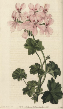 Pelargonium pinguifolium, raised from Cape seed by Colvill, in Geranici'ae bly Robert Sweet,