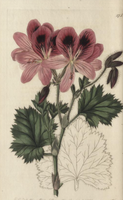 Pelargonium mucronatum from Robert Sweet's Geraniaciae, 1820/Users/davidmarsh/Library/Application Support/Evernote/quick-note/drdavidmarsh___Evernote/quick-note-Rmrk8O/attachment--oAj4G0/screenshot.png