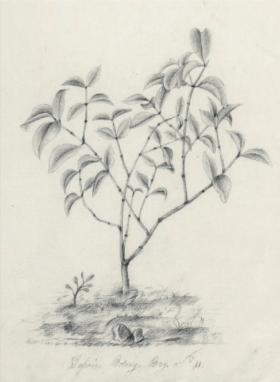 Jasminum Botany Bay Etienne Denisse, 1814 from The Journal of Pierre Bernard Milius