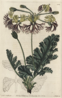 Pelargonium schizopetalum, imporlted from the Cape by Colvill from Robert Sweet's Geraniacae, 1820-22