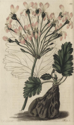 Pelargonium luridum, plants importled from the Cape by Colvill, from Robert Sweet's Geraniacae, 1820-22