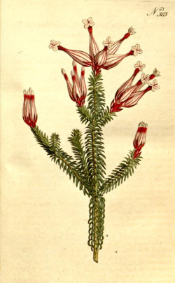 Erica ampullacea, from Curtis's Botanical Magazine, 1795