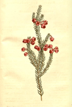 Erica baccans from Curtis's Botanical Magazine, 1795