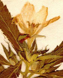 Turnera ulmifolia from the  Linnean herbarium,  Swedish Museum of Natural History