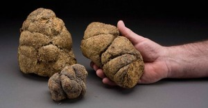 Coprolites http://voices.nationalgeographic.com/tag/coprolites/