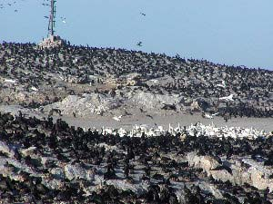 Cape Cormorants and Cape Gannets, Ichaboe Island