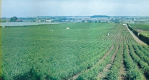 The stock ground at Wheatcrofts in the 1970s, from My LIfe with Roses