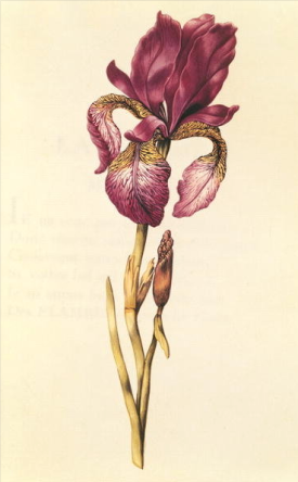 Iris, from Nicolas Robert, La Guirlande de Julie, c.1642 Bibliotheque Natioanle de France