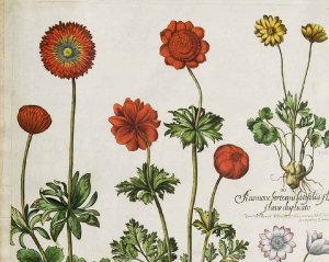 Detail of anemones from Besler's Hortus Eystettensis, vol. 1 (1620)