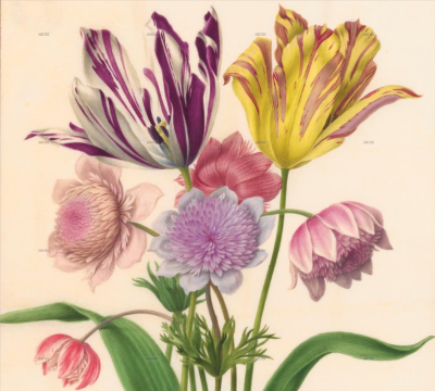 Details of tulips and anemones from Les Velins du Roi by Nicolas Robert, Museum of Natural History, Paris