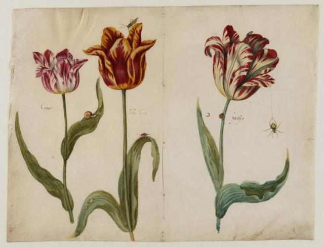 Tulips by Jacob Marrell, c.1630-50  Teylers Museum, Haarlem