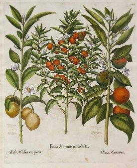 Citrus sinensis Common Orange, from Bessler's Hortus Eystettensis, 1620