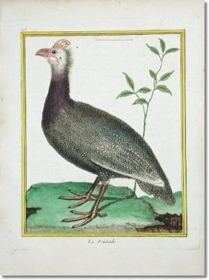 Guinea Fowl, François Nicholas Martinet, 1760
