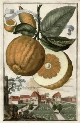 Pomo d'Adamo Cedratto, [Adam's Apple Citron], from Volkammer's Nürnbergische Hesperides, 1708-14