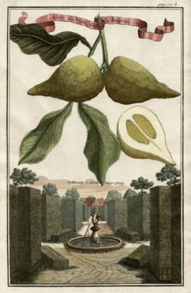 Altri Cedratti dalla Bizaria, [Other Eccentric Citrons] from from Volkammer's Nürnbergische Hesperides, 1708-14