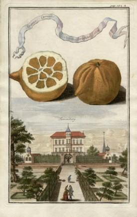 Aranzo Cornuto Hermephrodito, 1699, [Horned Hermaphrodite Orange, 1699], from Volkammer's Nürnbergische Hesperides, 1708-14