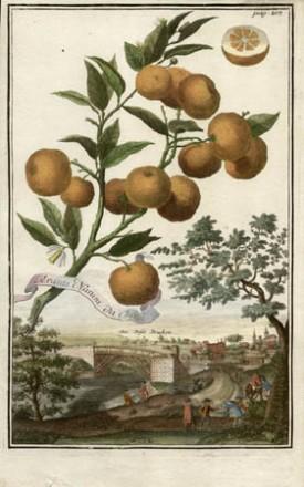 Aranzi Nanini da China, [Dwarf Oranges of China],from Volkammer's Nürnbergische Hesperides, 1708-14