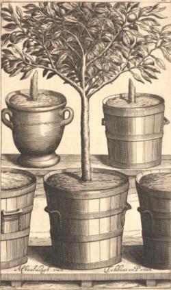 from Johannes Commelin's Netherlandish Hesperides , 1676