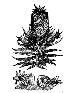 Anna sue Pina , The West Indies Delitious Pine from Theatrum Botanicum
