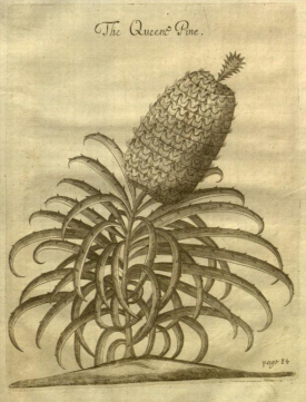 The Queen Pine from Richard Ligon's A True and Exact History of the island of Barbadoes , first published 1657