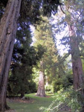 Giant redwoods at Killerton, from http://www.redwoodworld.co.uk