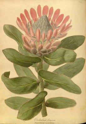 Erodendrum formosum Salisb. Hooker, W., Salisbury, R.A., The paradisus Londinensis, t. 76 (1805) [W. Hooker]