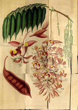 Amherstia nobilis Wall. amherstia, orchid tree, pride of India, queen of flowering trees Houtte, L. van, Flore des serres et des jardin de l'Europe, vol. 5: p. 513 (1849)