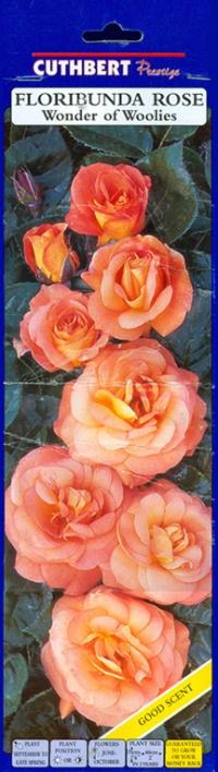 blm-WonderOfWW-Rose