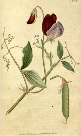 Curtis Botanical Magazine, vol.2 plate 60, 1788