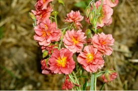 Helianthemum 'Mrs C.w. Earle', https://www.rhs.org.uk