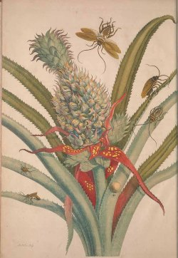 Ananas comosus (L.) Merr. [as Ananas] pineapple Merian, M.S., De metamorphosibus insectorum Surinamensium, of te verandering der Surinaamsche insecten, t. 1 (1714) drawing: