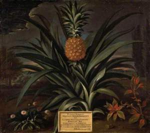 Pineapple Grown in Sir Matthew Decker's Garden at Richmond, Surrey by Theodorus Netscher(c) The Fitzwilliam Museum; Supplied by The Public Catalogue Foundation